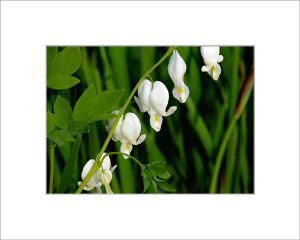 Matted 5x7 Photo: Bleeding Heart White
