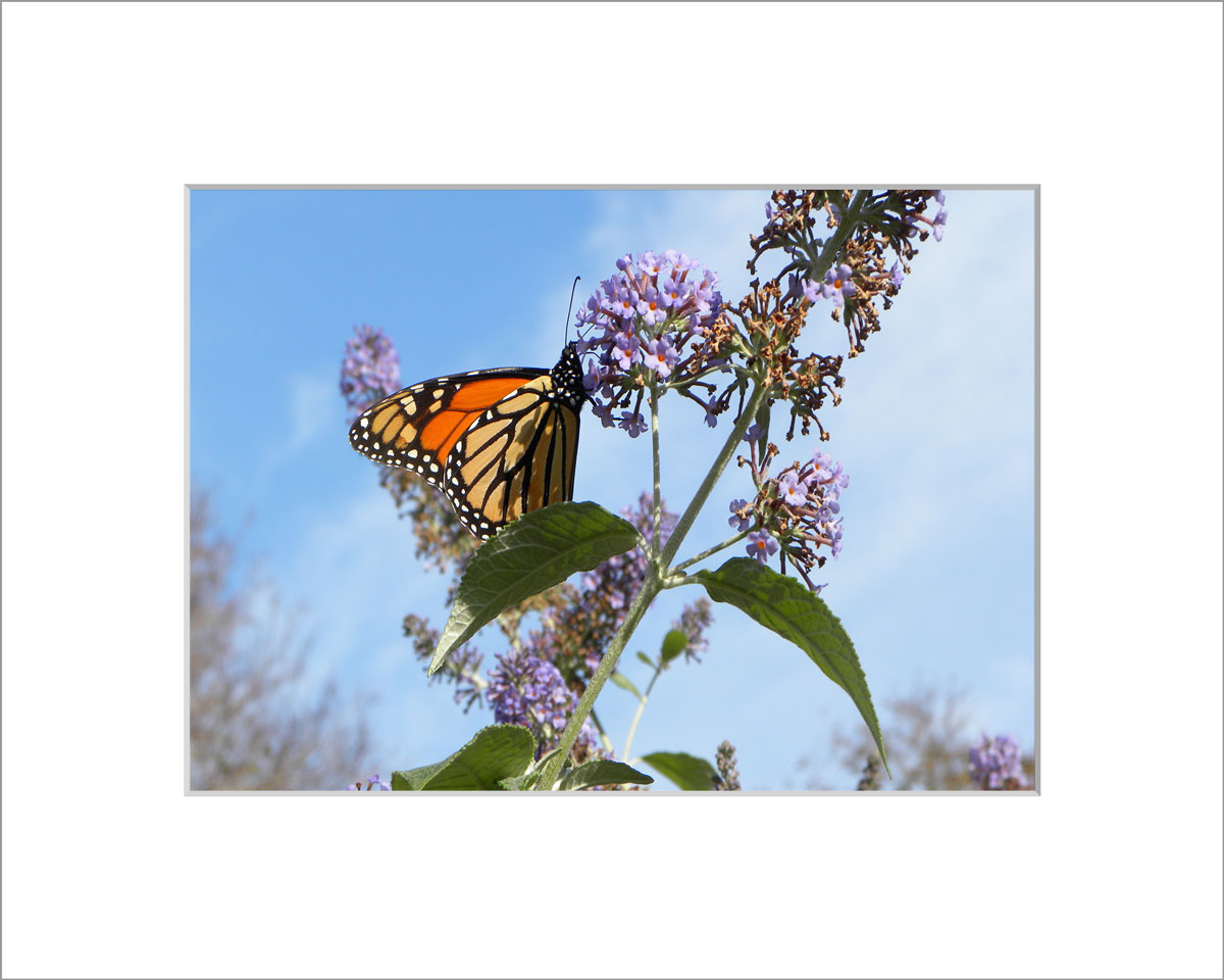 Matted 5x7 Photo: Butterfly Weed