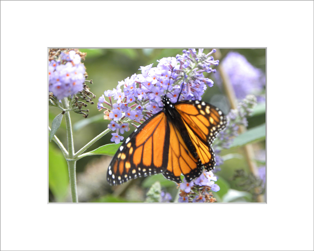 Matted 5x7 Photo: Butterfly Weed with Butterfly
