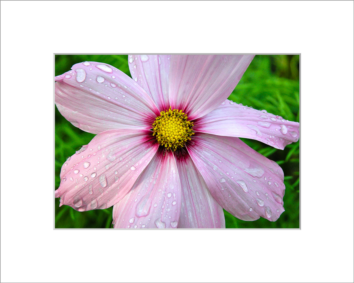 Matted 5x7 Photo: Cosmo with Drops