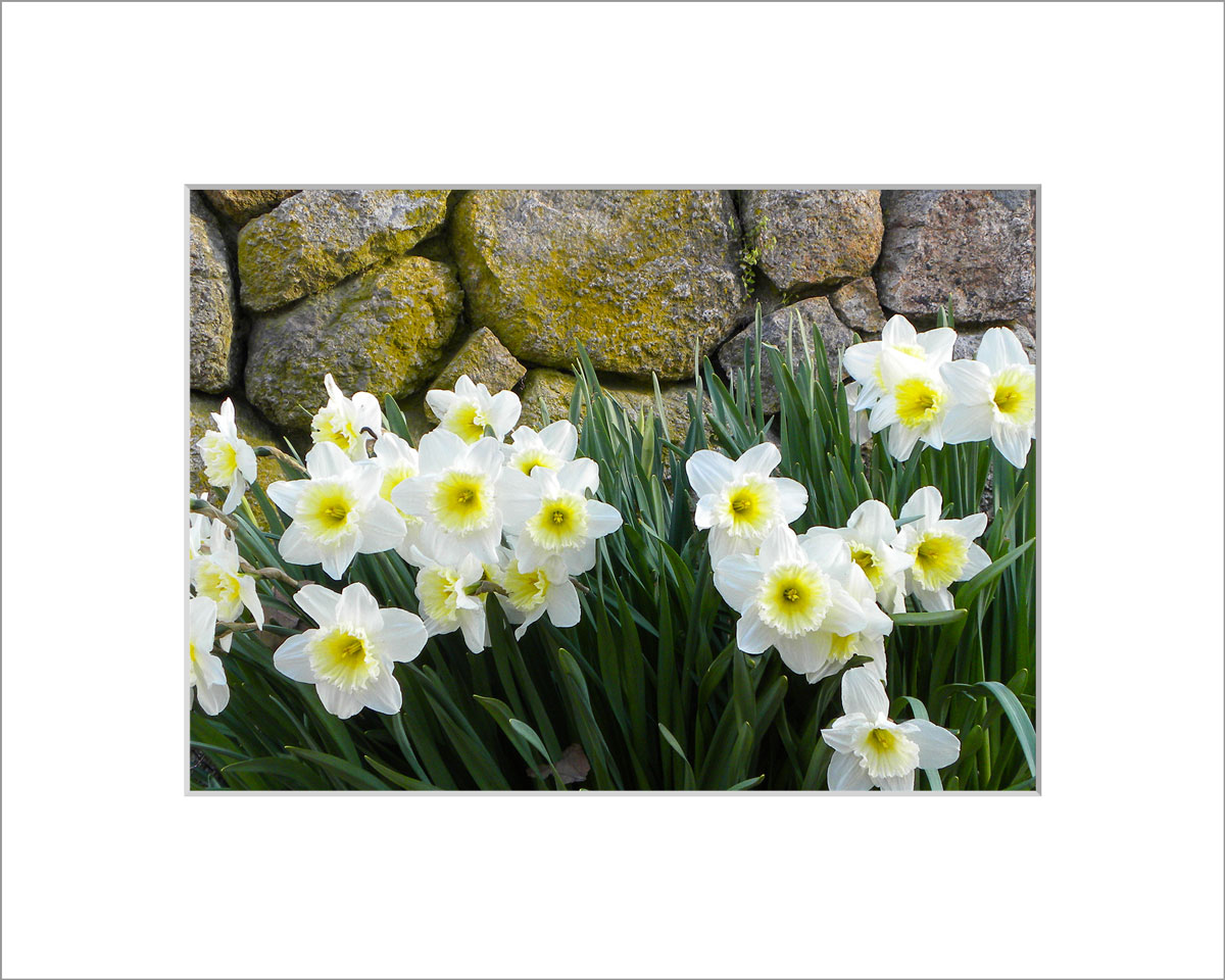 Matted 5x7 Photo: Daffodils by Wall