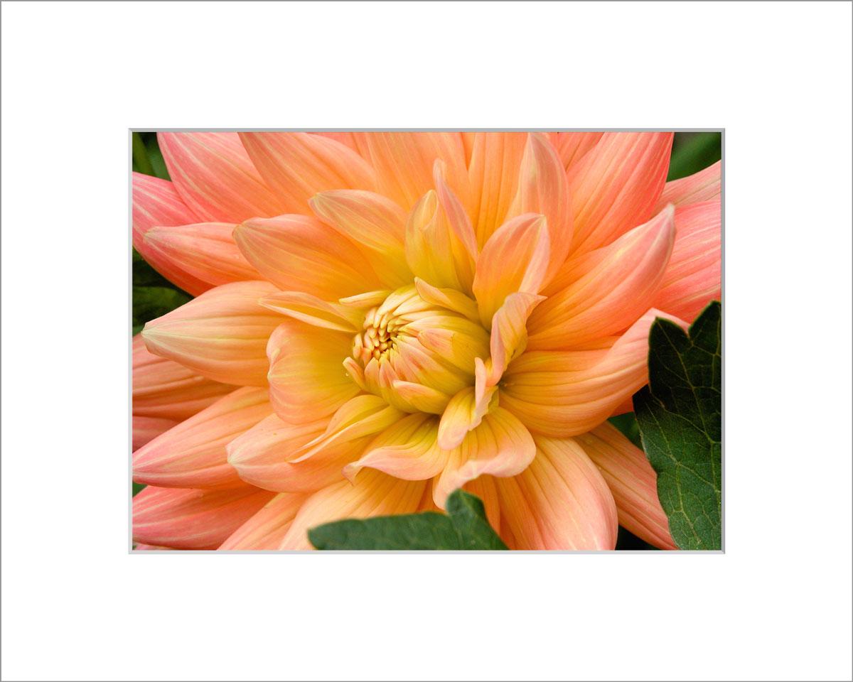 Matted 5x7 Photo: Dahlia Light Orange