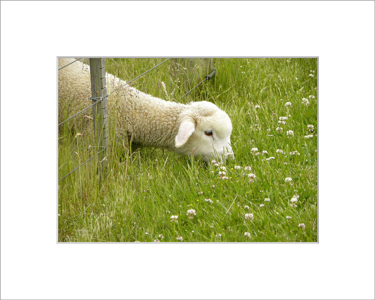Matted 5x7 Photo: Lamb Eating