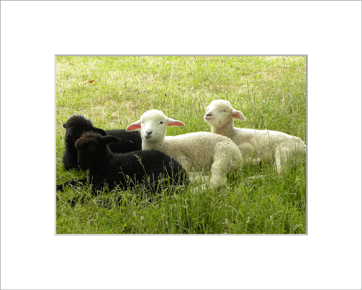 Matted 5x7 Photo: Lambs Four