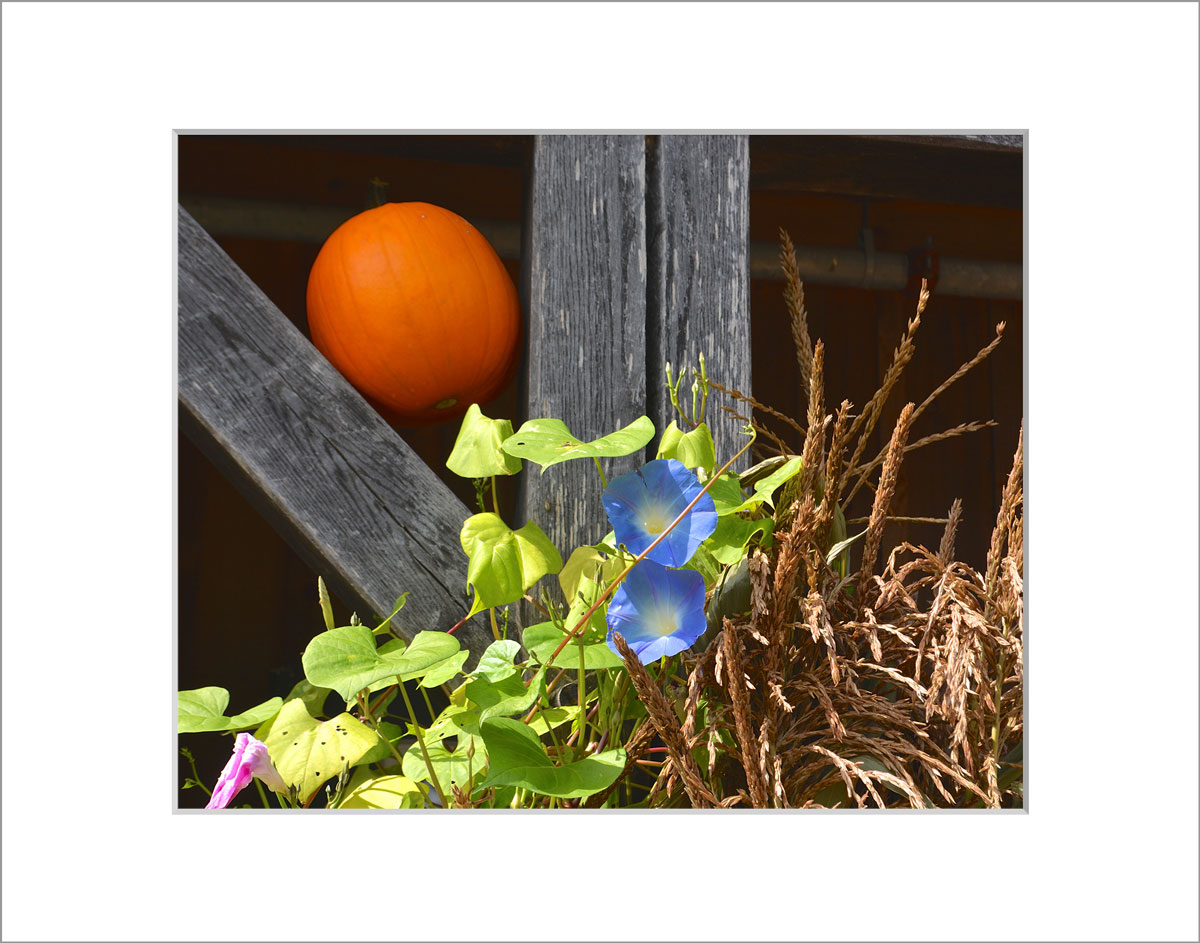 Matted 8x10 Photo: Pumpkin Morning Glory