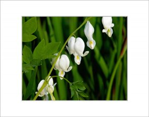 Matted 8x10 Photo: Bleeding Heart White