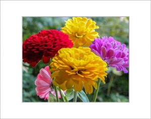Matted 8x10 Photo: Bouquet Zinnias