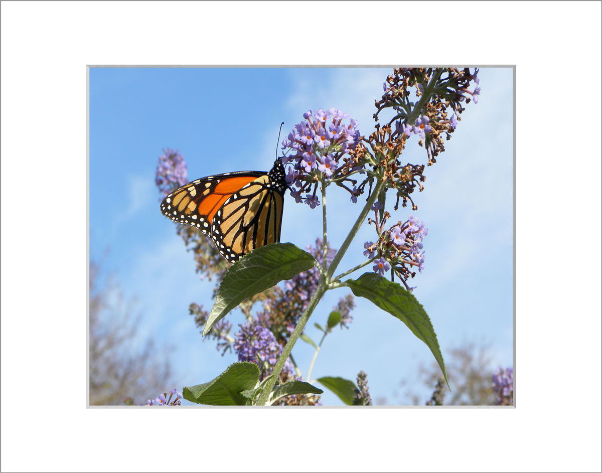 Matted 8x10 Photo: Butterfly Weed
