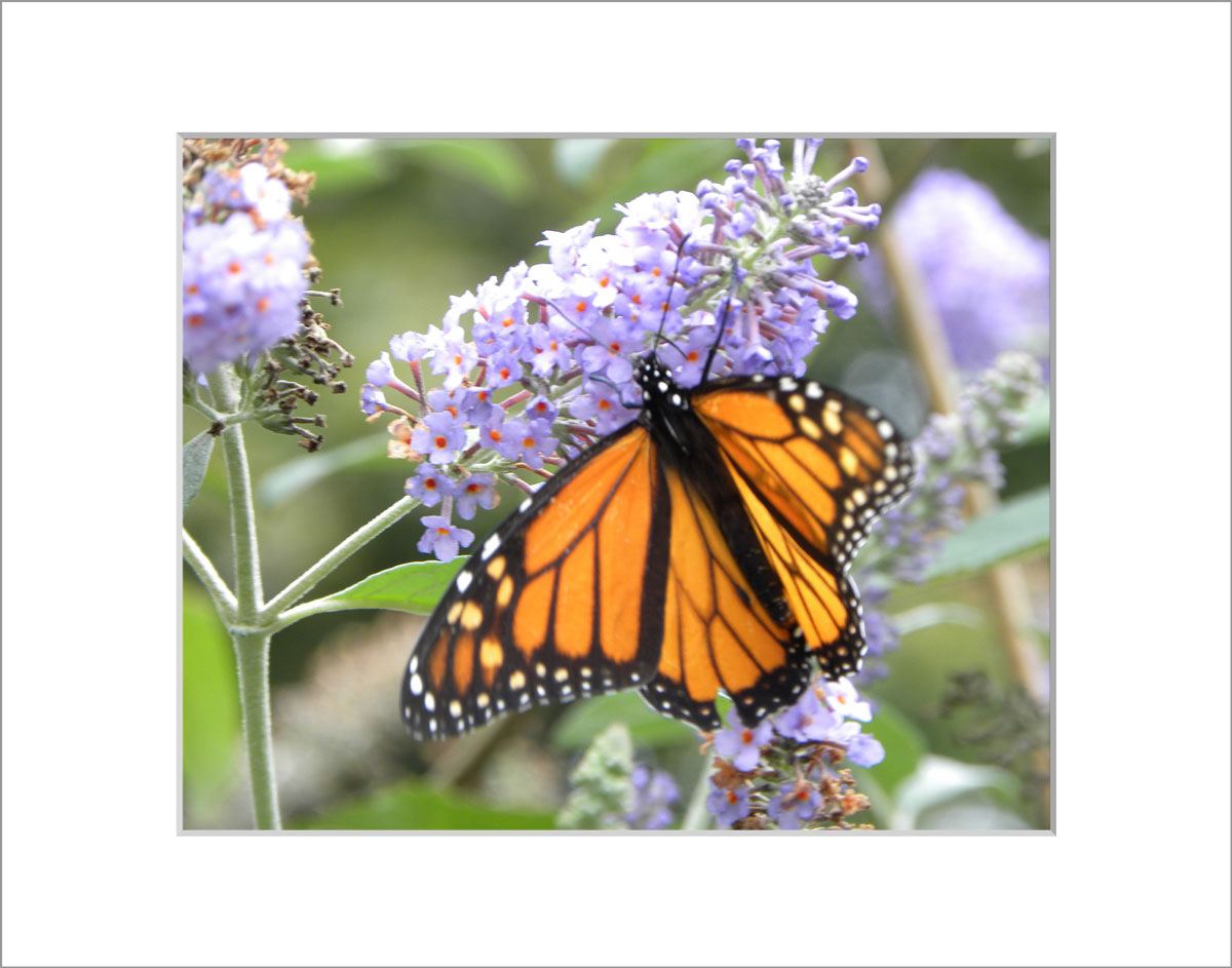 Matted 8x10 Photo: Butterfly Weed with Butterfly