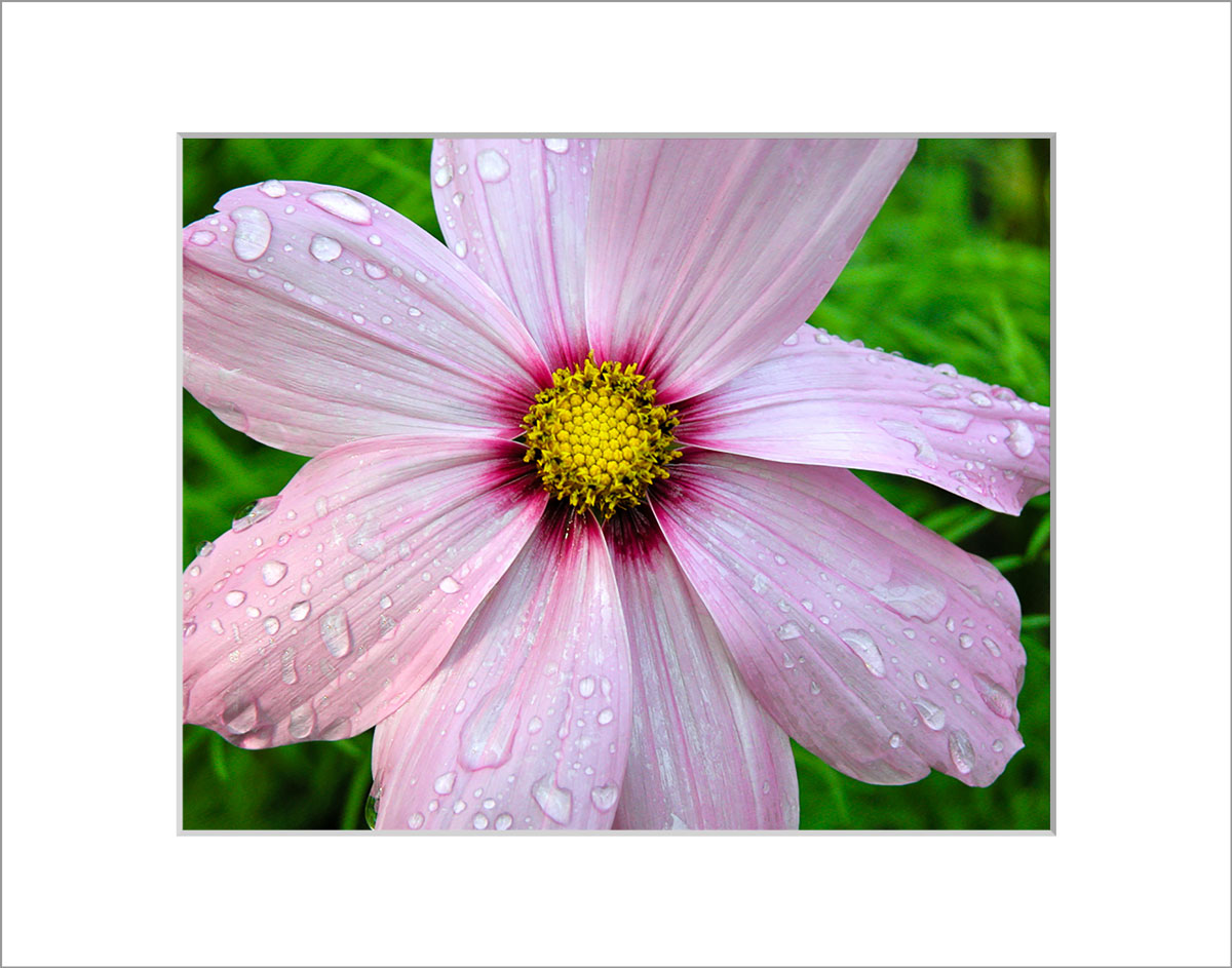 Matted 8x10 Photo: Cosmo with Drops