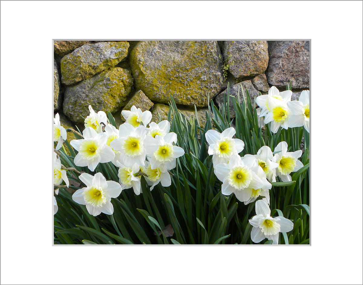 Matted 8x10 Photo: Daffodils by Wall