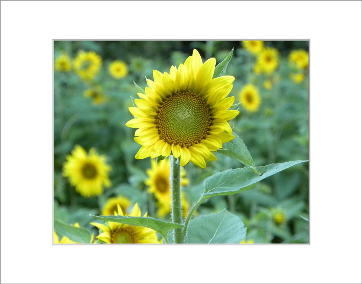 Matted 8x10 Photo: Sunflower Garden