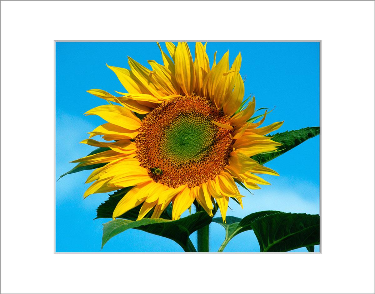 Matted 8x10 Photo: Sunflower Tall