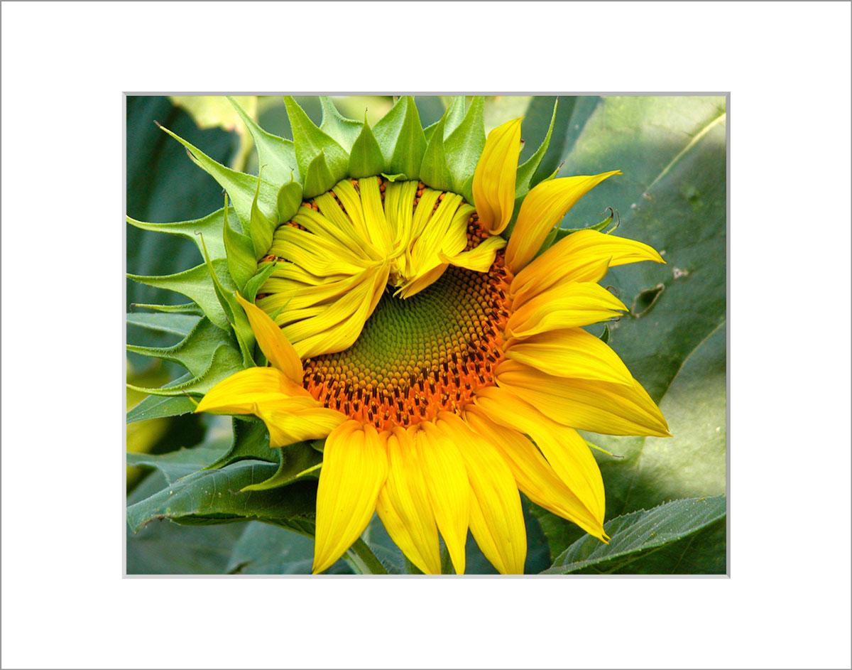 Matted 8x10 Photo: Sunflower Unfolding