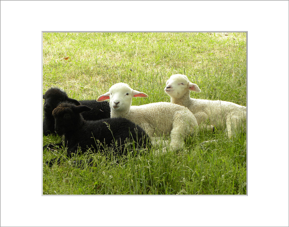 Matted 8x10 Photo: Lambs Four